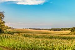 年轻绿色生长玉米茎的领域 库存图片