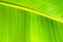 绿色由后照的叶子背景 免版税库存照片