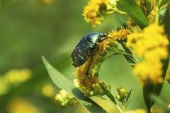 绿色甲虫 在花的玫瑰色金龟子cetonia aurata  库存照片