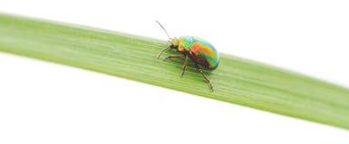 绿色甲虫 库存图片