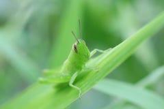 绿色甲虫 免版税库存图片