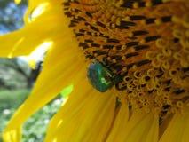绿色甲虫 图库摄影