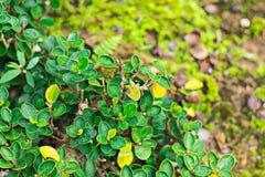 绿色留下供选择黄色,并且有在叶子的水 库存图片