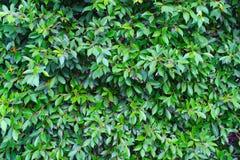 绿色留下墙壁 免版税库存照片