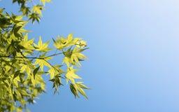 绿色留下槭树 免版税库存图片