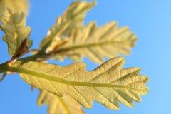 绿色留下橡木 免版税库存照片