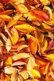 黄色留下秋天叶子背景纹理 免版税库存照片