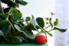 绿色留下草莓 免版税库存图片