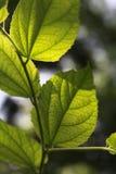 绿色留下阳光 免版税库存照片