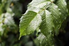 绿色留下雨珠 免版税图库摄影