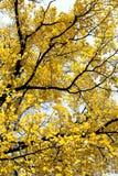 黄色留下结构树 库存照片