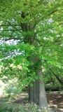 绿色留下结构树 免版税库存照片