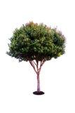 绿色留给树被隔绝 免版税库存照片