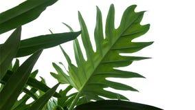 绿色留给Monstera爱树木的人框架热带叶子 免版税库存照片