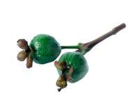 绿色番石榴 库存照片