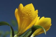 黄色番红花在反对蓝天的早期的秋天 库存照片