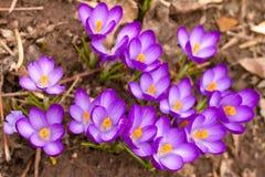 紫色番红花在庭院里 库存图片