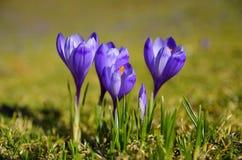 紫色番红花在春日 免版税库存图片