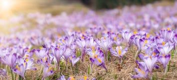 紫色番红花开花开花在春天晴朗的草甸 库存照片
