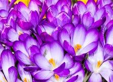 紫色番红花开花 免版税库存照片