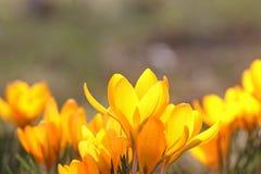 黄色番红花开花 库存图片