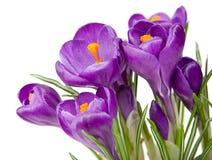 紫色番红花有白色背景 免版税库存照片