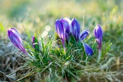 紫色番红花番红花幼芽软的焦点和散开的bokeh 免版税库存图片