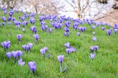 紫色番红花花圃 免版税库存照片