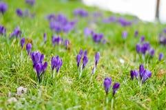 紫色番红花花圃 免版税库存图片