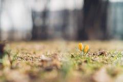 黄色番红花花在早期的春天之前 免版税库存图片