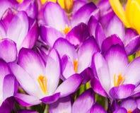 紫色番红花花开花背景 库存图片
