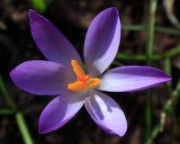 紫色番红花花 免版税库存照片