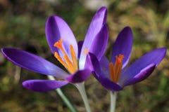 紫色番红花花 库存图片