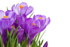 紫色番红花野花 免版税库存照片