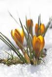 黄色番红花,唤醒的春天 免版税库存图片