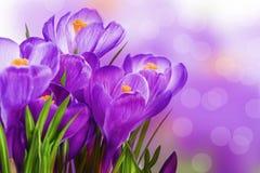 紫色番红花 免版税图库摄影