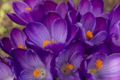 紫色番红花 库存图片