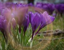 紫色番红花 免版税库存照片