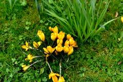 黄色番红花 图库摄影