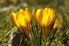 黄色番红花 库存照片
