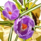 紫色番红花 免版税库存图片