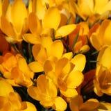 黄色番红花 库存图片