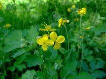 黄色白屈菜花在绿草中增长 免版税库存图片