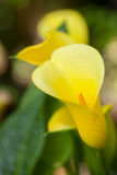 黄色白星海芋 图库摄影