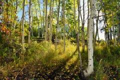黄色白杨木森林在叶子期间的 库存图片