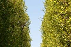 绿色白杨树胡同 库存照片
