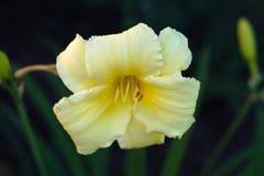 黄色白百合花园黑暗的背景颜色花卉开花 免版税库存图片