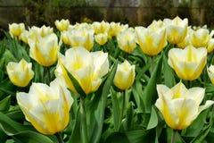 黄色白的郁金香 图库摄影