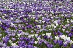 紫色白色番红花 免版税库存图片