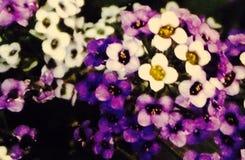 紫色白色 库存图片